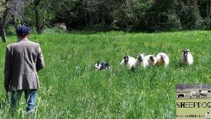 dimostrazione-sheepdog-casavaikuntha41