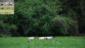 dimostrazione-sheepdog-casavaikuntha45