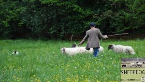 dimostrazione-sheepdog-casavaikuntha49