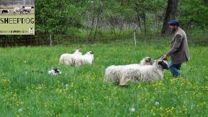 dimostrazione-sheepdog-casavaikuntha52