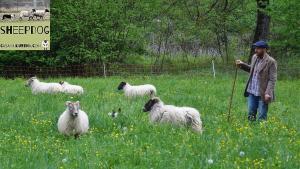 dimostrazione-sheepdog-casavaikuntha53