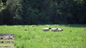dimostrazione-sheepdog-casavaikuntha9