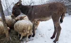 pecore-asina-sulla-neve-a-casavaikuntha
