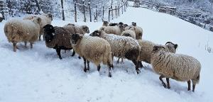 pecore-neve-casavaikuntha
