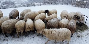 pecore-neve-casavaikuntha2